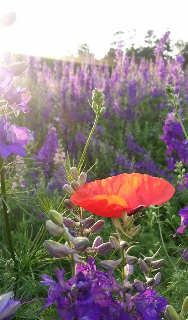 Poppy petal with sun's rays