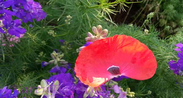 Poppy petal with lupines