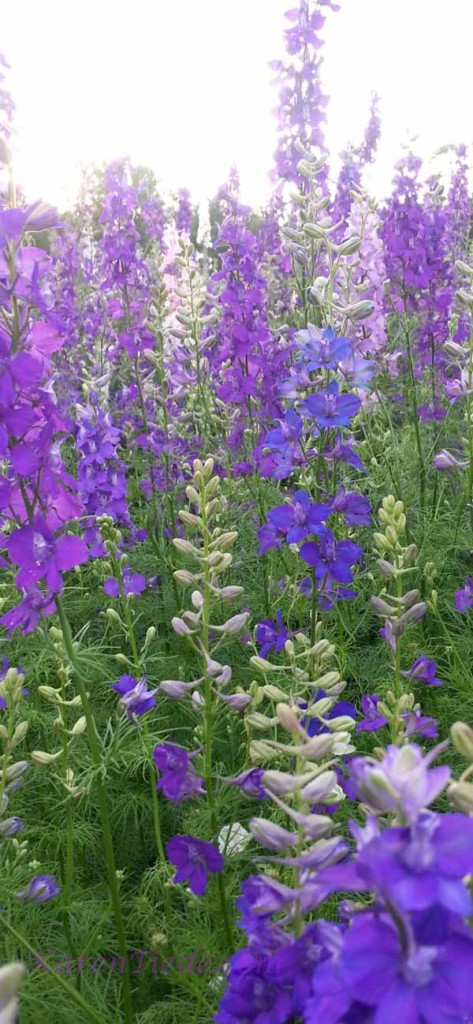 Lupines (mostly purple, one blue)
